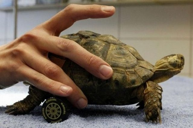 Amazing Wheelchair For a Turtle Seen On www.coolpicturegallery.us