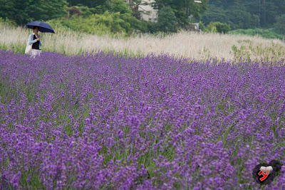 lavanda kawaguchi by dantada