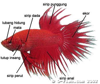 NdiLo Blog: Budidaya Ikan Cupang (Betta spelendes)