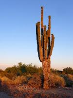 Giant Saguaro Cactus in North Phoenix