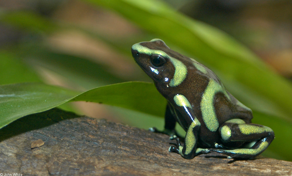 Green and Black Poison Dart Frog | I LOVE Spots and Polka ...