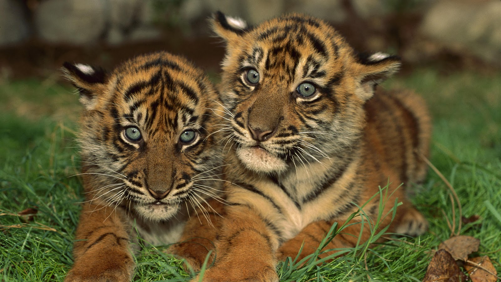 Cute tiger pictures - photo#10