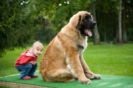 The Leonberger can compete as a member of the Working Group at ...