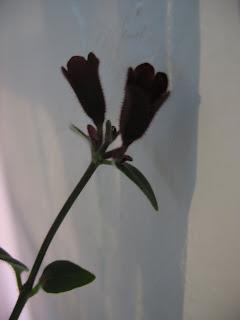 Lipstick Plant flower