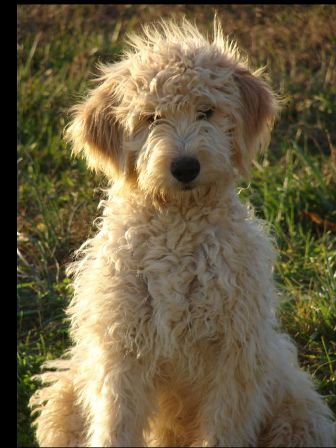goldendoodle miniature. hair Mini Goldendoodle: mini
