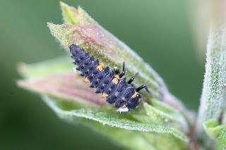 Viridis insectes la coccinelle - Larve de coccinelle ...