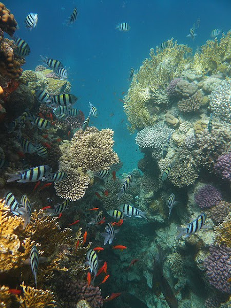 Corals and Fishes in Red Sea reef