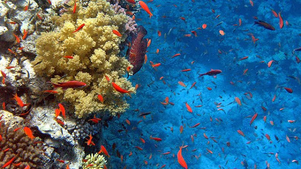 Fishes in Red Sea reef
