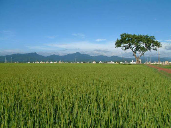 Rice plantation, Phong Nha-Ke Bang National park