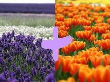 Lavanda + tulipanes