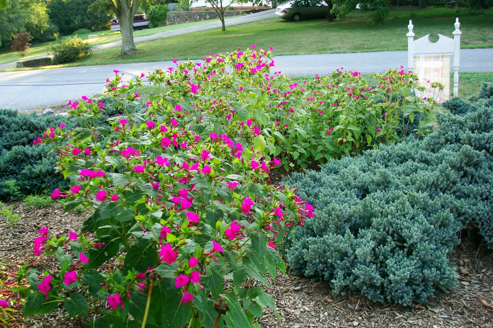 Flowers and nature in my garden four oclocks perennials pink flowrs labels four oclocks perennials pink blooms mightylinksfo