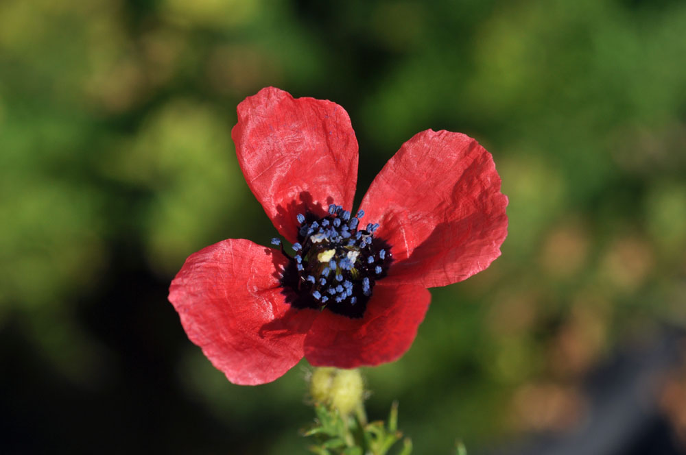 Maltese Nature Poppies Long Used As A Symbol Of Sleep And Death