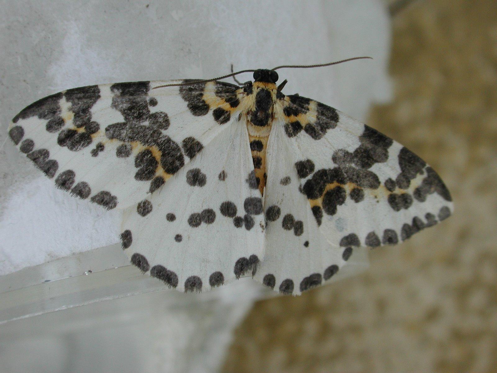 [Magpie+Moth+(Abraxas+grossulariata)]