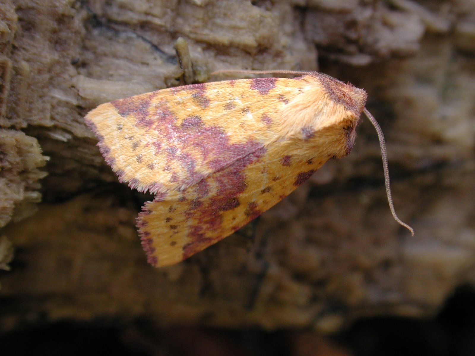 [Pink+Barred+Sallow]