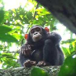最強猛獸 剛果比利猿