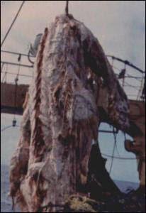 1977年日本抓到的恐龍形海怪屍體