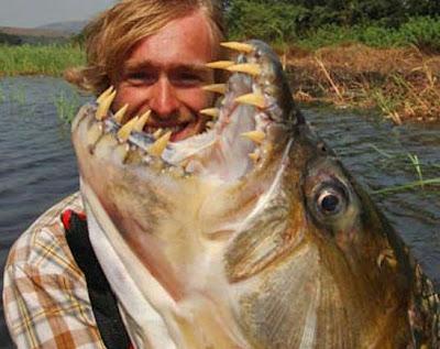 恐怖魚牙 牙巴拉魚 - 巨狗脂鯉