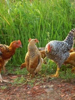 超另類母雞
