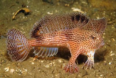 用手走路的魚 - 長手魚