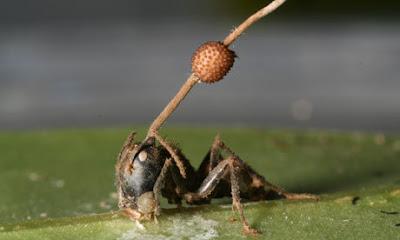 殭屍螞蟻 真菌控制被感染的殭屍螞蟻