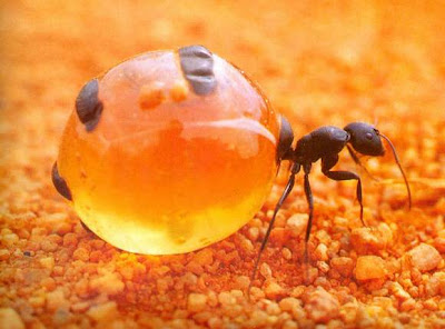 最怪異 螞蟻 蜜罐 - 最怪異螞蟻-蜜罐蟻