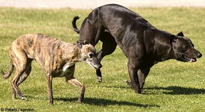 全世界最強壯的狗 - 惠比特犬 Wendy 全世界最強壯的狗