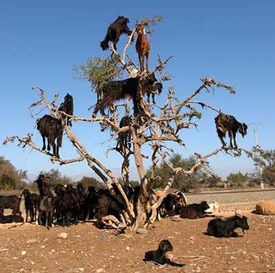 摩洛哥 山羊會爬樹