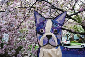 Bosty the Boston Terrier and Cherry Blossoms by collage artist Megan Coyle