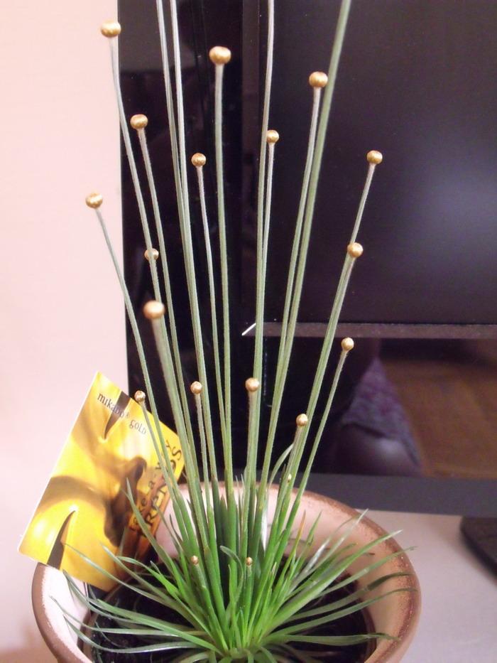 syngonanthus mikado gold