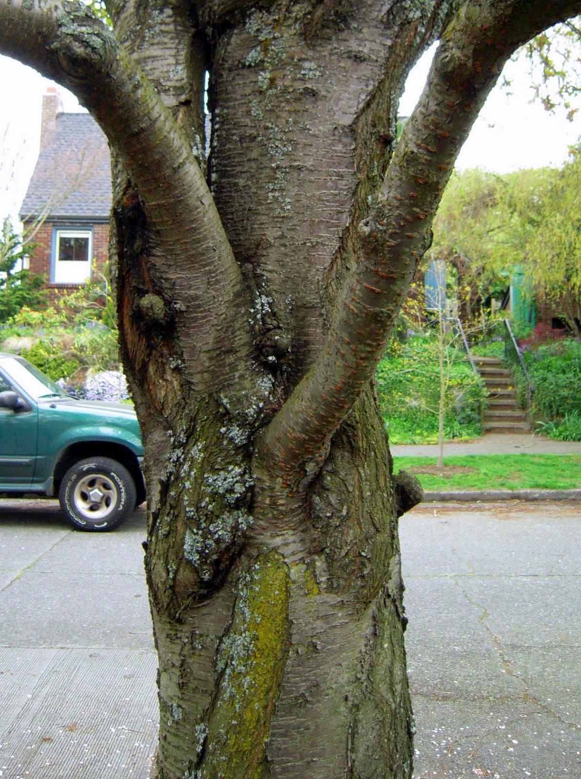 http://4.bp.blogspot.com/_Hd3A1l-B5os/S8QNw1fmAfI/AAAAAAAAAzc/zD1OYEEmZbE/s1600/cherry+tree+pink+and+white+trunk+zoom+in.jpg