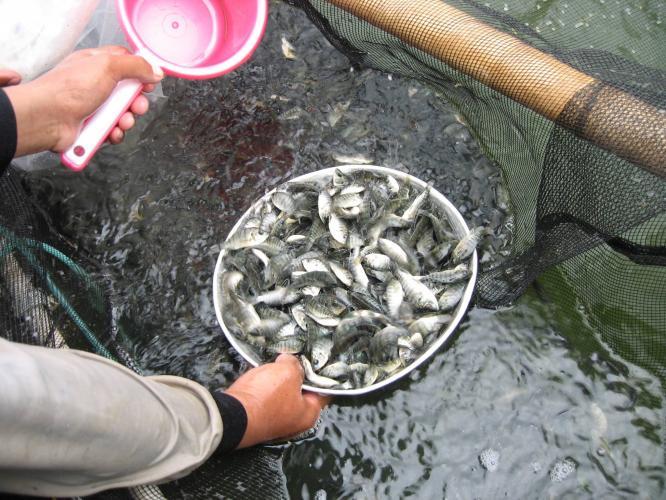 Jual Ikan Nila, Ikan benih dan Ikan Konsumsi