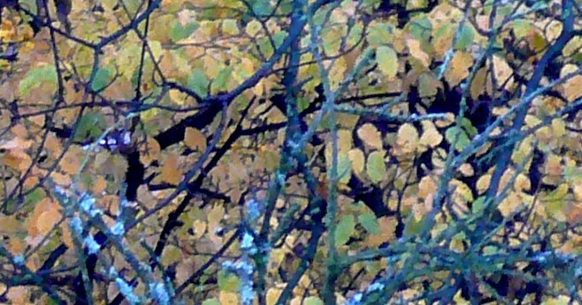 Die Petersilie für das Bleichen der Sommersprossen