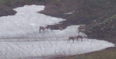 Herd of Caribou in the park