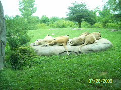 Lions at the KC zoo