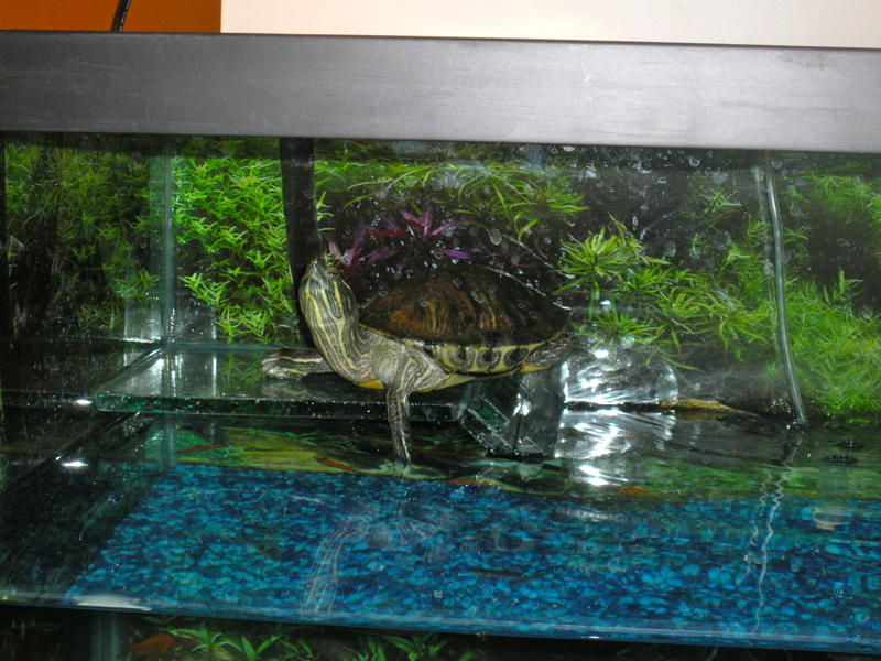 Turtle+Resting+on+Turtle+Ramp+in+Custom+Tank.jpg