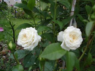 Роза чайковский первый год
