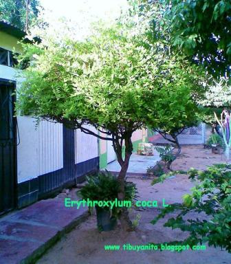 Erythroxylum coca L.