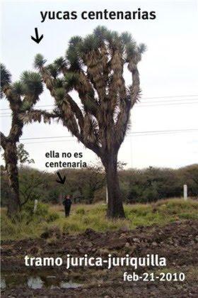 YUCAS CENTENARIAS EN QUERETARO