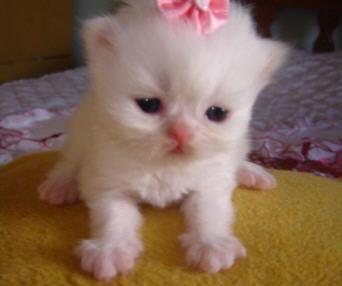 +1000 ideias sobre Gatos Persas no Pinterest | Gatinhos
