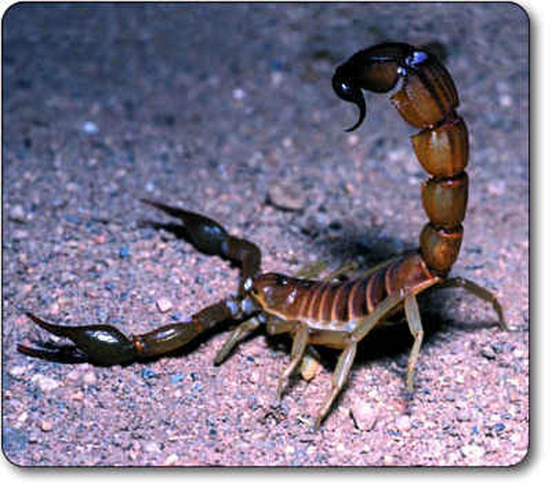 http://4.bp.blogspot.com/_HnRxieBty-M/S7xPUQwQWcI/AAAAAAAAAAM/Pw3IUKCrsa0/s1600/death-stalker-scorpion.jpg