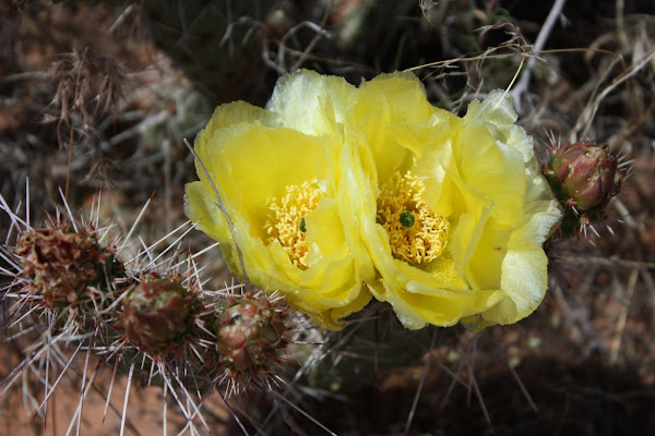 Prickly pair flowers