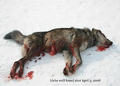 Wolf Killed in Idaho