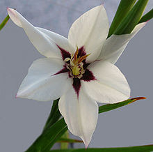 Summer Flower Bulb,Gladiolus callianthus,Acidanthera