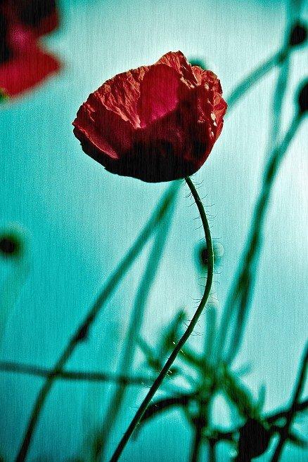 [Blue-poppy1]