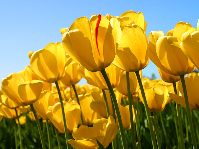 tulips wallpapers - free download wallpapers