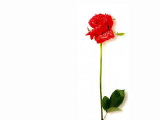 Red Rose Wallpaper - free download wallpapers