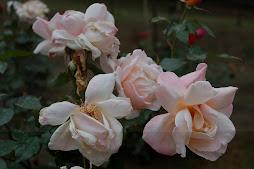 rosses at haggala garden