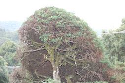 a tree at haggala garden