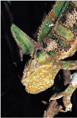 baby chameleons for sale in san antonio texas