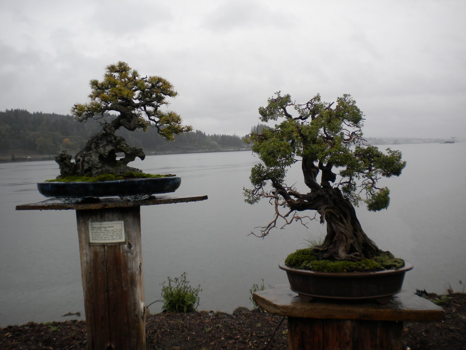 Granite sw little trees super cool for Cool bonsai tree